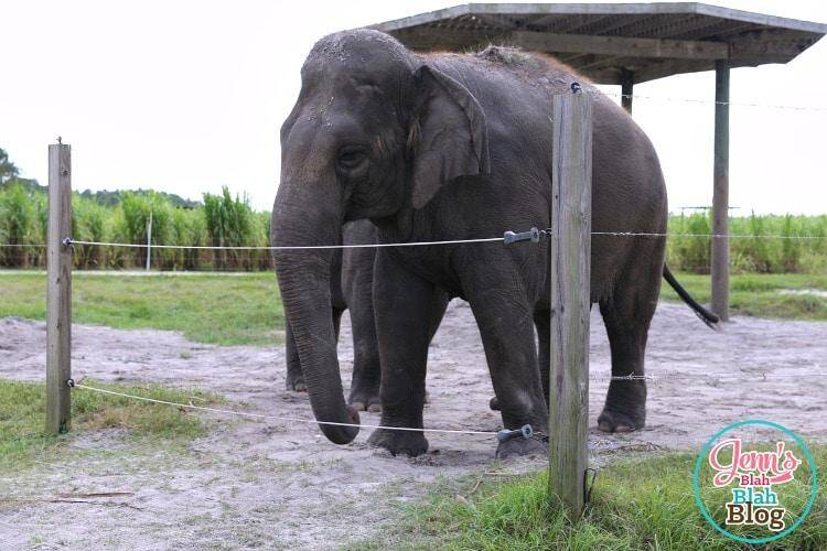 Asian Elephant at Ringling Center for Elephant Conservation
